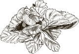 Hand drawing begonia flower  Drawn Sketch Fototapeta