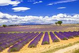 violet fields of blooming lavande in Provence, France  Prowansja Fototapeta