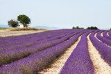 Lavender field in the South of France  Prowansja Fototapeta