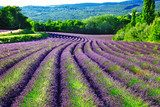 violet fields of blloming lavander in Provence  Prowansja Fototapeta