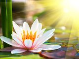 beautiful water lily in the light  Kwiaty Obraz