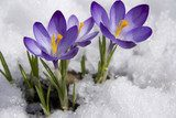 crocuses in snow  Kwiaty Obraz