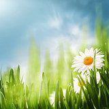 Daisy flowers on the meadow, seasonal backgrounds for your desi  Kwiaty Obraz