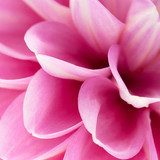 Pink dahlia close-up  Kwiaty Obraz