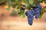 Large bunches of red wine grapes on vine  Owoce Obraz