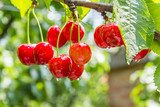 Cherry red berries on a tree branch with water drops  Owoce Obraz