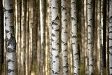 trunks of birch trees  Styl skandynawski Fototapeta