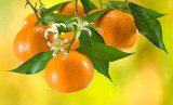 ripe tangerine on a yellow background  Owoce Obraz
