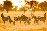 Zebra in sunrise light  Afryka Fototapeta