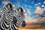 Zebras in the wild  Afryka Fototapeta