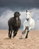 Black and white horses running wild  Zwierzęta Plakat