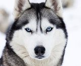 Close up on blue eyes of husky  Zwierzęta Plakat