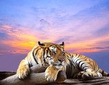 Tiger looking something on the rock with beautiful sky at sunset  Zwierzęta Plakat