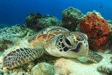 Green Turtle rubs shell against coral Rafa koralowa Fototapeta