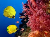 Coral reef and Masked Butterfly Fish Rafa koralowa Fototapeta