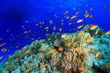 Colorful fish in the tropical reef of the red sea Rafa koralowa Fototapeta