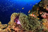 Anemone and clownfish in coral reef Rafa koralowa Fototapeta