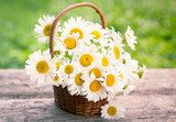 Spring flowers - Daisy flowers in the basket Kwiaty Obraz