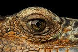 Closeup Eye of Green Iguana, Looks like a Dragon Isolated on Black Background Zwierzęta Plakat