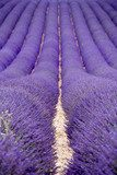 Lavender fields  near Valensole in Provence, France  Kwiaty Plakat