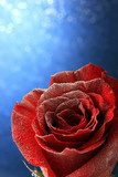 Red rose in snow  on blue background  Kwiaty Plakat
