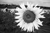 Black and White Sunflower  Czarno-Białe Fototapeta