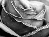 Monochrome wet rose close-up shot  Czarno-Białe Fototapeta