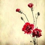 Old paper background with red carnations  Sepia Fototapeta