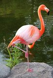 American Red Flamingo.  Graceful bird.  Zwierzęta Fototapeta