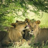 Loving pair of lion and lioness  Zwierzęta Fototapeta
