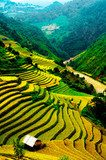 Rice fields of terraced in Vietnam  Krajobraz Fototapeta