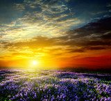 Sunset over a summer lavender field  Krajobraz Fototapeta