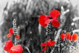 Poppy - For Remembrance Day  Fototapety Maki Fototapeta