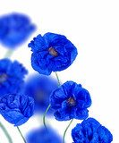 blue poppy flowers isolated on white  Maki Fototapeta