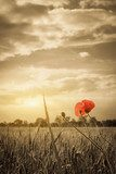 Poppies in a wheat field. Composition of nature  Maki Fototapeta