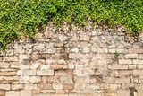 Old medieval wall covered by ivy  Mur Fototapeta