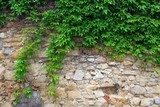 A green ivy on a stone wall, a beautiful background  Mur Fototapeta