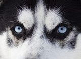 Close up on blue eyes of husky  Zwierzęta Obraz