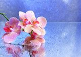 Beautiful blooming orchid with water drops  Obrazy do Salonu SPA Obraz