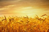 A field of wheat in the golden light of sunset.  Kwiaty Obraz