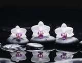 orchid flower and stones in water drops  Kwiaty Obraz