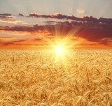 Wheat field at sunset  Krajobrazy Obraz