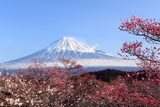 Mt. Fuji with Japanese Plum Blossoms  Krajobrazy Obraz