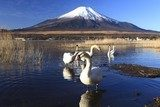 Mt. Fuji and Swans  Krajobrazy Obraz