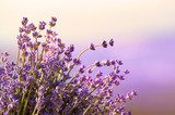 Lavender flowers bloom summer time  Prowansja Fototapeta