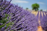 Lavender field. The plateau of Valensole in Provence  Prowansja Fototapeta