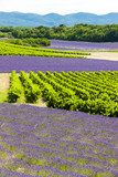 lavender fields with vineyards, Rhone-Alpes, France  Prowansja Fototapeta
