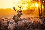 Red Deer in morning Sun.   Las Fototapeta