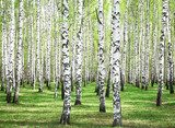 First spring greens in birch grove  Las Fototapeta