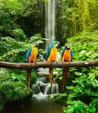 Blue-and-Yellow Macaw  Las Fototapeta